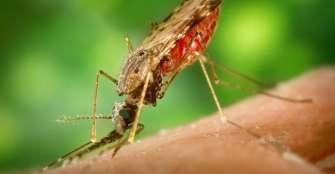 Descubren que la malaria sigue dañando el hueso tras eliminarse la infección