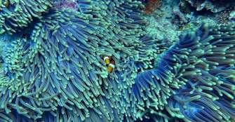 El éxito reproductivo del pez payaso depende mucho del cambio climático