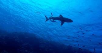 Resolución que autoriza la pesca de tiburones fue modificada