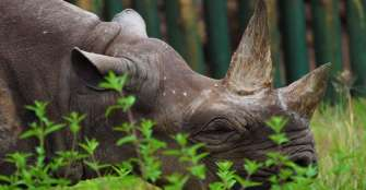 """La rinoceronte """"más longeva del mundo"""" murió a los 57 años en Tanzania"""