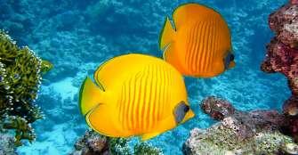 La acidificación del océano no cambiará a los peces de arrecifes coralinos