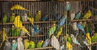 Ante proyecto de prohibir tenencia de aves de vuelo, experta propone regulación
