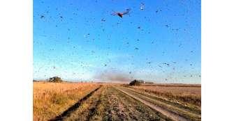 Una plaga de langostas avanza por Argentina y se dirige hacia Brasil