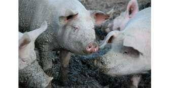 """Nueva cepa del virus de gripe porcina detectada en China tiene """"potencial pandémico"""", advierte estudio"""