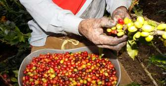 """Reducen tiempos de trámites para exportar café, """"esto reflejará mejor precio para el cafetero"""""""