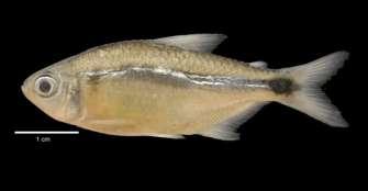 El Quindío, una reserva de especies endémicas de peces