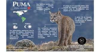 Puma, el felino más grande que habita en el Quindío