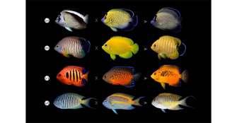Por qué algunos peces tropicales se están volviendo más coloridos