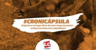 #Cronicápsula | Llegarán a un hogar lleno de amor luego de prestar su buen servicio a los colombianos