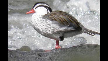 el-pato-de-los-torrentes-en-riesgo-por-el-turismo-mal-planificado