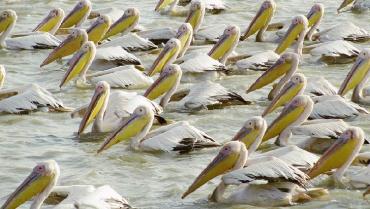 confirman-la-gripe-aviar-como-causa-de-la-muerte-de-750-pelicanos-en-senegal