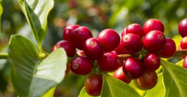 En marzo, Quindío tuvo baja producción de café