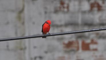 Pechirrojo, un ave también de ciudad
