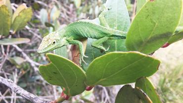 un-camaleon-que-si-habita-en-el-quindio
