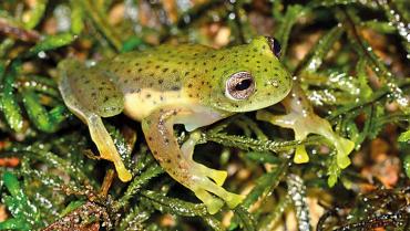Una rana llamada Quindío