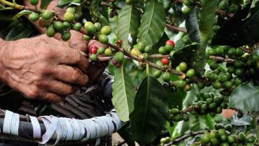 Producción de café en Colombia disminuyó 8 % en julio de este año