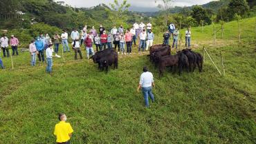 Angus y brangus, razas que se promueven en Quindío para producir carne de mayor calidad