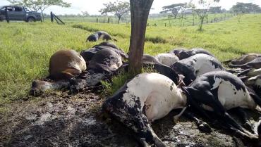 Tormenta eléctrica mató 18 vacas en Montenegro