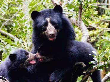 La oportunidad para conocer a la única especie de oso colombiana