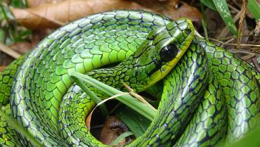 chironius-monticola-una-serpiente-que-da-latigazos
