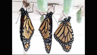 ella-es-la-monarca-de-las-mariposas