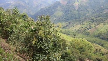 Autoridades definirán criterios de actuación frente a cultivos de aguacate hass