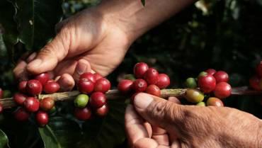 En 9 meses del año, producción de café es 5 % menor a la de 2020
