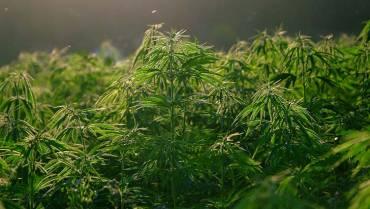 El Quindío es apto para el desarrollo de la agroindustria del cannabis