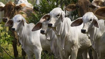 En el Quindío se habló de ganadería de cría