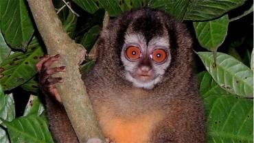 La electrocución amenaza al mono nocturno andino