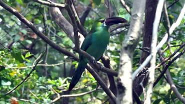 Durante Global Big Day, en el Quindío  se avistaron 268 especies de aves